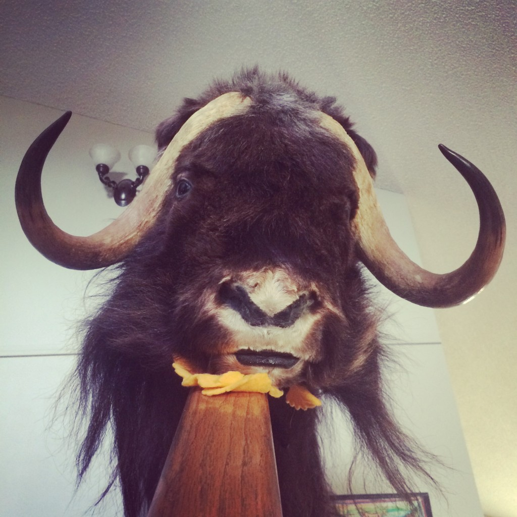 Marty the Musk Ox shows up every year.